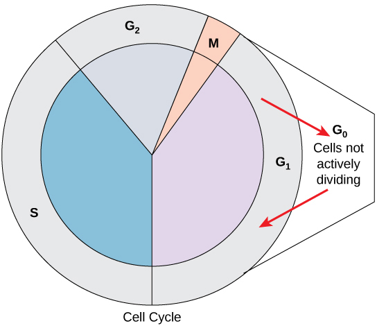 The cell cycle concepts of biology the cell cycle is shown in a circular graphic with four stages the s ccuart Image collections