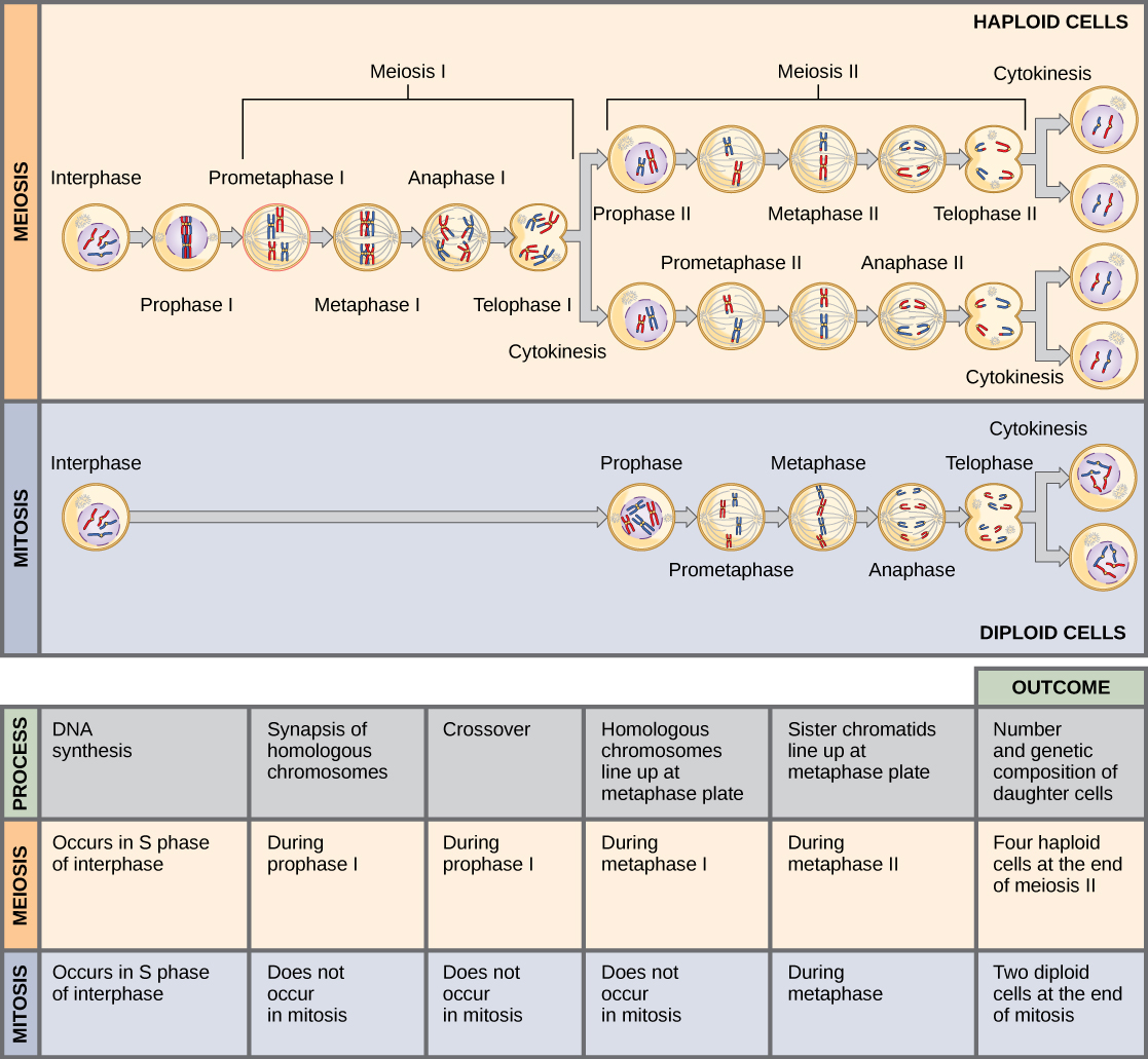Venn diagram cytokinesis plant animal cells - This Illustration Compares Meiosis And Mitosis In Meiosis There Are Two Rounds Of Cell