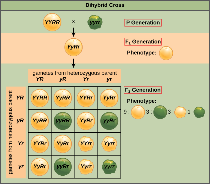 phenotype and genotype worksheet