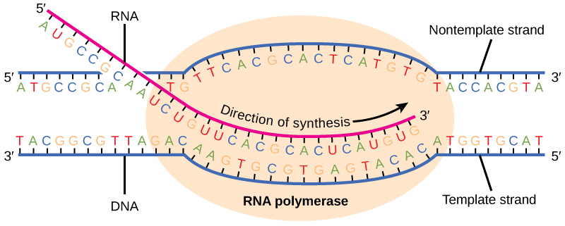 protein synthesis is an anabolic pathway for most cells