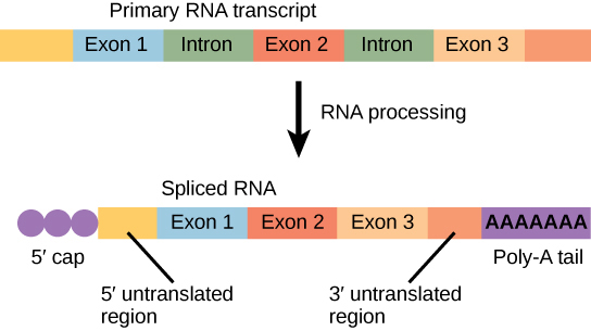the major scientific breakthroughs of introns and exons in genetics