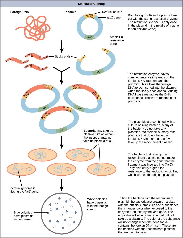 recombinant DNA plasmids,