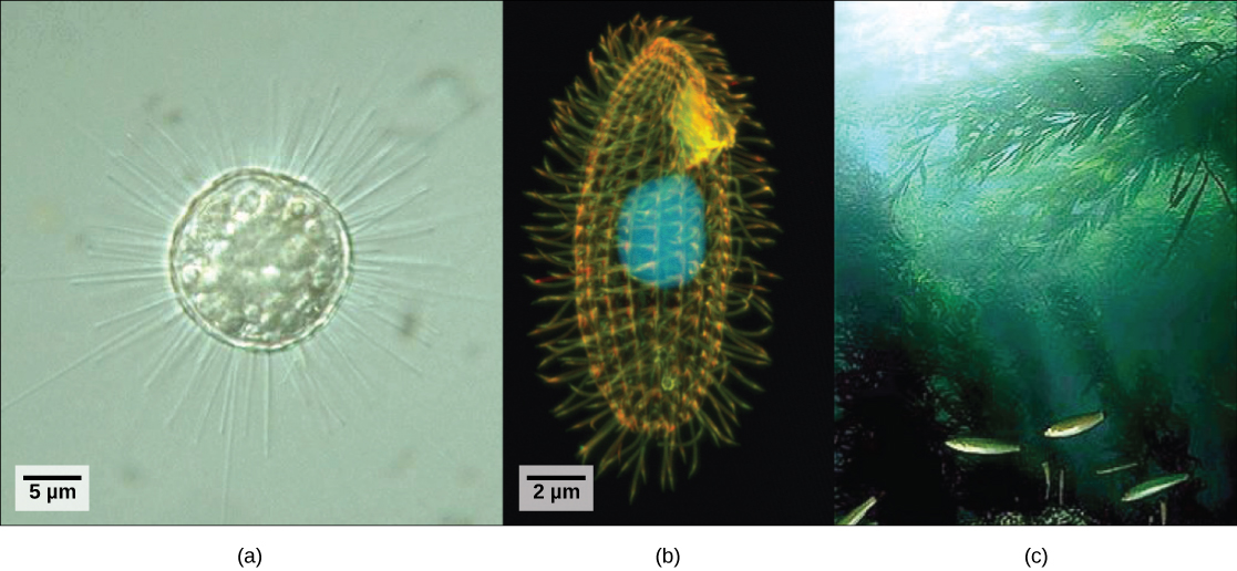 Protists Concepts Of Biology