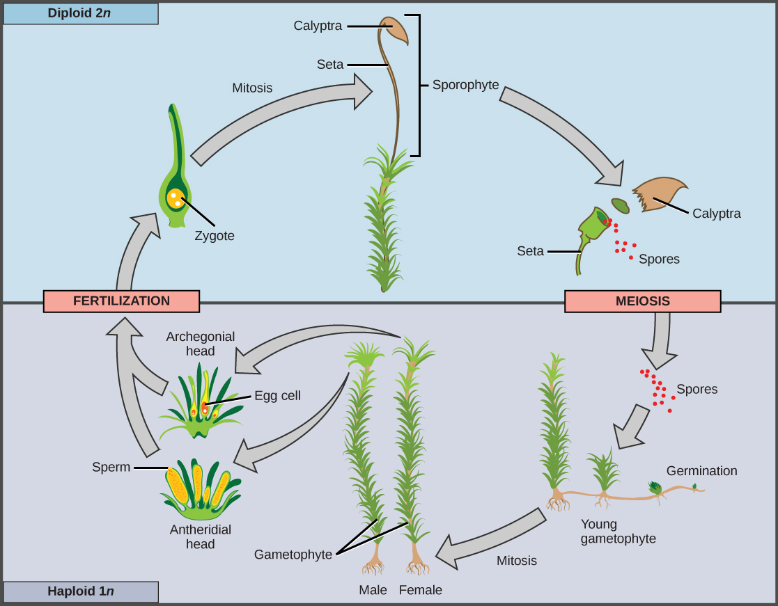The plant kingdom concepts of biology this life cycle of a moss shows alternation of generations with a dominant gametophyte stage credit modification of work by mariana ruiz villareal pooptronica