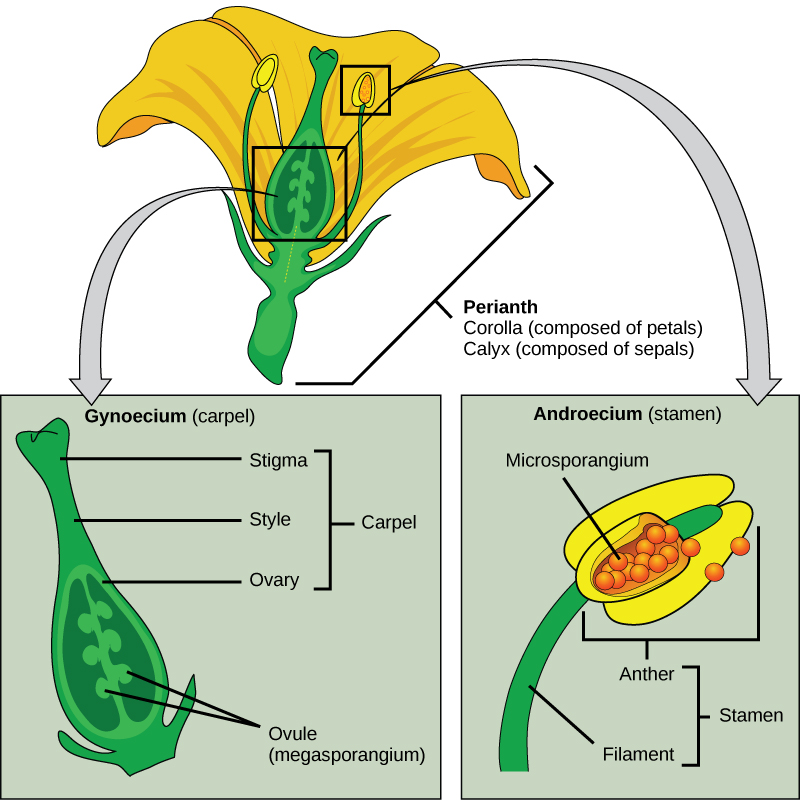 Seed Plants Angiosperms Concepts Of Biology
