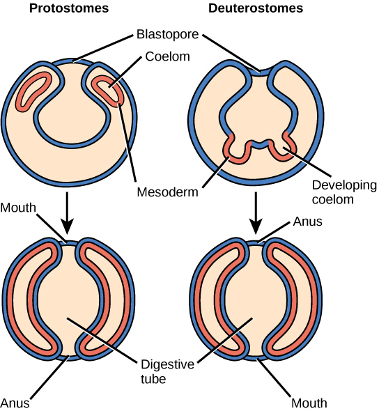 early embryology simple summary Gut development suggested readings combinatorial codes of hox gene expression in the endoderm and mesoderm of the early embryo a summary of what is.