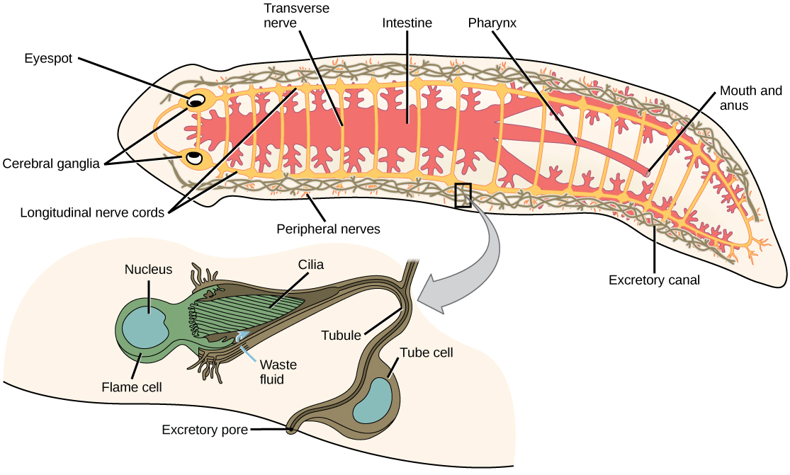 Anatomy of planaria