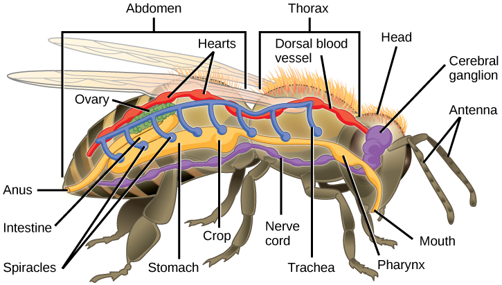Male anatomy lower abdomen