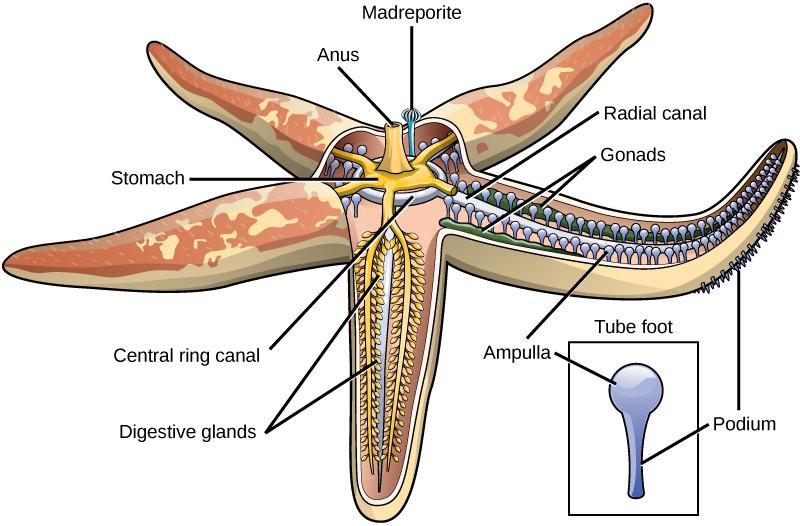 Echinoderms And Chordates  U00b7 Concepts Of Biology