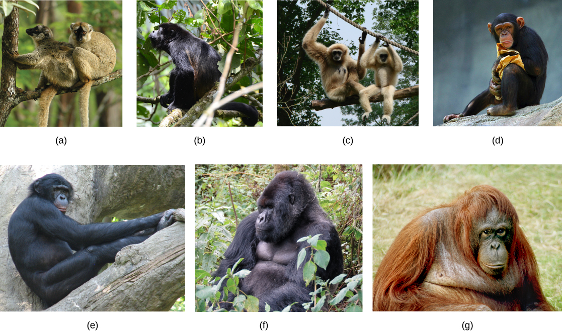 a study of primates apes and gorillas