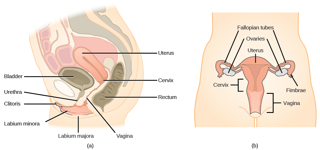 Human reproduction concepts of biology the reproductive structures of the human female are shown credit a modification of work by grays anatomy credit b modification of work by cdc ccuart Choice Image