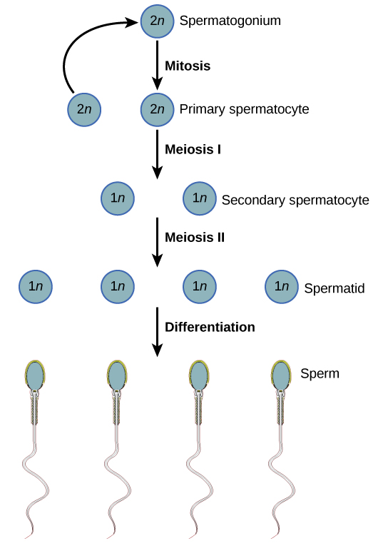 Developing Sperm Cells Begin The Process Of Meiosis They