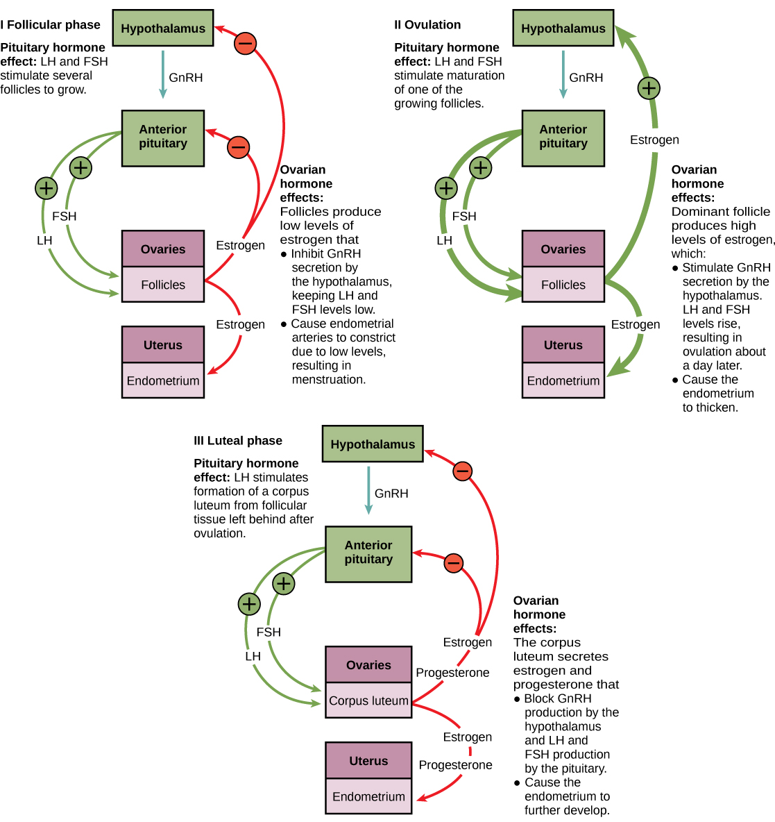 Human reproduction concepts of biology the ovarian and menstrual cycles of female reproduction are regulated by hormones produced by the hypothalamus pituitary and ovaries gamestrikefo Choice Image