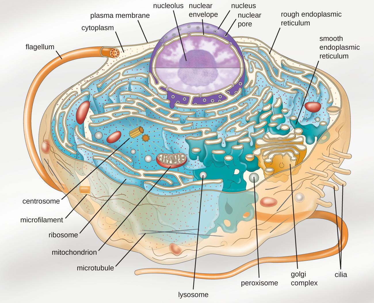 Unique Characteristics of Eukaryotic Cells · Microbiology