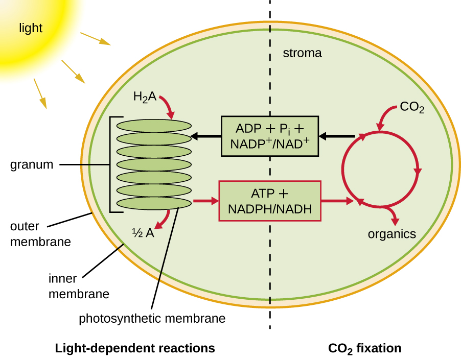 Photosynthesis microbiology the light dependent reactions of photosynthesis left convert light energy into chemical energy forming atp and nadph these products are used by the ccuart Gallery