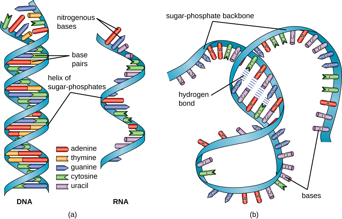 what is the difference between messenger rna and transfer rna