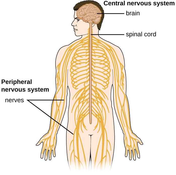 Anatomy Of The Nervous System Microbiology