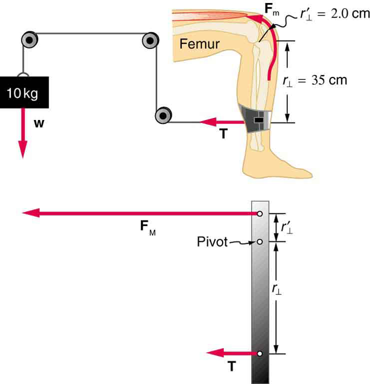 Pulleys In Physics : Forces and torques in muscles joints ? physics